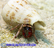 hermit crab in his shell