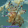 white tipped nudibranch on branch in protaras cyprus